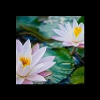 pale pind lotus blossoms