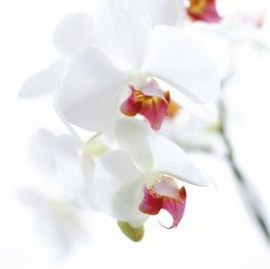White and Pink Orchid Art Print by Cedric Porchez